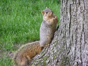 Fox Squirrel with Sunflowerseed by tree, South Bend Indiana USA, by Jason Quinn and Kaori Otsuki
