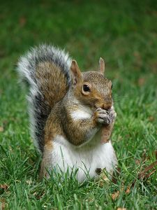 450px-Gray_squirrel_(Sciurus_carolinensis)_in_Boston_Public_Garden_September_2010